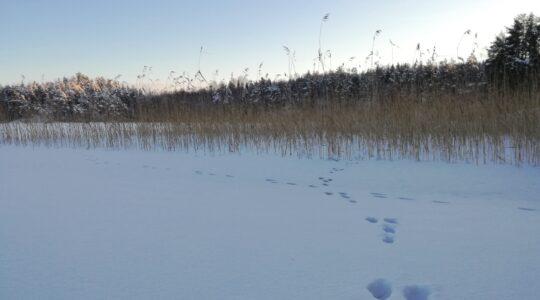 Jäniksen jäljet lumisella järven jäällä, taustalla kaislikko ja metsikkö.